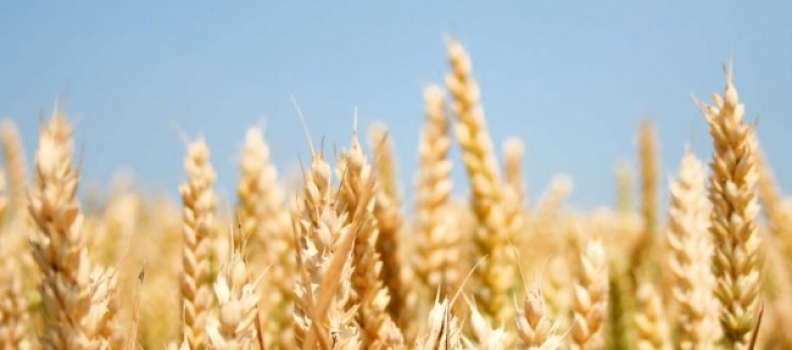 Germes de blé, bienfait pour la santé